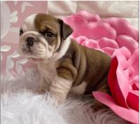 English Bulldog Puppies for sale in Philadelphia, PA, USA. price: NA
