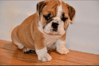 English Bulldog Puppies for sale in Delaware, OH 43015, USA. price: NA