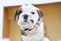 English Bulldog Puppies for sale in Orlando, FL, USA. price: NA