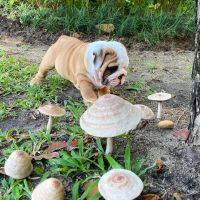 English Bulldog Puppies for sale in Atlanta, GA, USA. price: NA