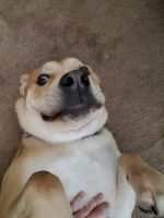 English Bulldog Puppies Photos