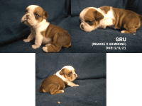 English Bulldog Puppies for sale in Osceola, IA 50213, USA. price: NA