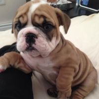 English Bulldog Puppies for sale in Kansas City, KS, USA. price: NA