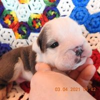English Bulldog Puppies for sale in Waco, TX 76707, USA. price: NA