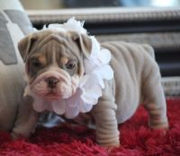 English Bulldog Puppies for sale in Santa Clara, CA, USA. price: NA