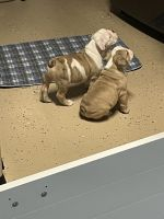 English Bulldog Puppies for sale in Buckeye, AZ, USA. price: NA