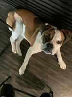 English Bulldog Puppies for sale in Southfield, MI 48076, USA. price: NA