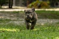 English Bulldog Puppies for sale in Ruskin, FL, USA. price: NA