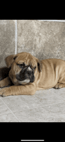 English Bulldog Puppies for sale in Mechanicsburg, PA, USA. price: NA