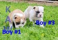 English Bulldog Puppies for sale in Choctaw, OK 73020, USA. price: NA