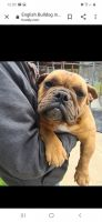 English Bulldog Puppies for sale in Clarks Summit, PA 18411, USA. price: NA