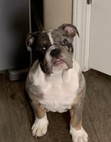 English Bulldog Puppies for sale in Baker, CA, USA. price: NA