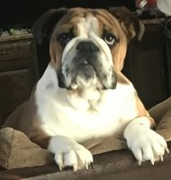 English Bulldog Puppies for sale in Beckley, WV 25801, USA. price: NA