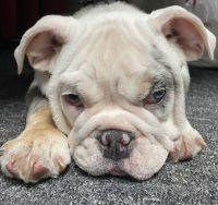 English Bulldog Puppies for sale in San Francisco Bay Area, CA, USA. price: NA