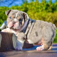 English Bulldog Puppies for sale in 7160 N First St, Fresno, CA 93720, USA. price: NA