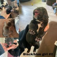 English Bulldog Puppies for sale in 24620 Russell Rd, Kent, WA 98032, USA. price: NA