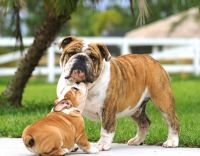 English Bulldog Puppies for sale in Beverly Hills, CA, USA. price: NA