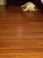 English Bulldog Puppies for sale in Staten Island, NY, USA. price: NA