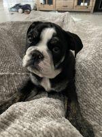 English Bulldog Puppies for sale in Orlando, FL, USA. price: NA