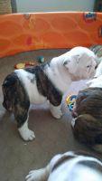 English Bulldog Puppies for sale in Victoria, TX, USA. price: NA
