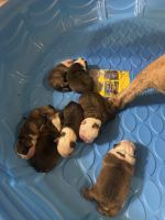 English Bulldog Puppies for sale in Gainesville, TX 76240, USA. price: NA