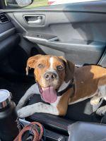 English Bulldog Puppies for sale in Burlington, KY 41005, USA. price: NA