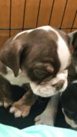 English Bulldog Puppies for sale in Weeki Wachee, FL, USA. price: NA