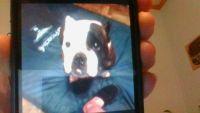 English Bulldog Puppies for sale in Bloomingburg, NY 12721, USA. price: NA