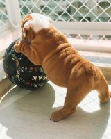 English Bulldog Puppies for sale in NE 122nd Ave, Battle Ground, WA 98604, USA. price: NA