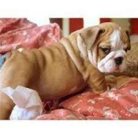 English Bulldog Puppies for sale in Lutz, FL 33549, USA. price: NA