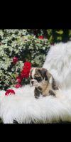 English Bulldog Puppies for sale in Riverside, CA, USA. price: NA