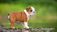 English Bulldog Puppies for sale in California City, CA, USA. price: NA