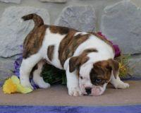 English Bulldog Puppies for sale in Waco, TX, USA. price: NA