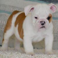 English Bulldog Puppies for sale in Cambridge, MA, USA. price: NA