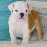 English Bulldog Puppies for sale in Huntsville, AL, USA. price: NA