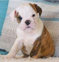 English Bulldog Puppies for sale in Anchorage, AK, USA. price: NA
