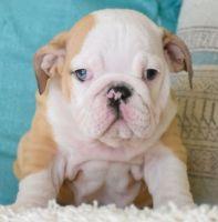 English Bulldog Puppies for sale in Phoenix, AZ, USA. price: NA