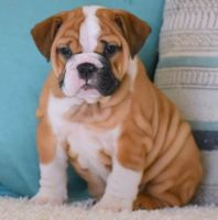 English Bulldog Puppies for sale in Little Rock, AR, USA. price: NA