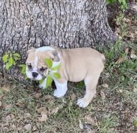 English Bulldog Puppies for sale in Hartford, CT, USA. price: NA