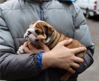English Bulldog Puppies for sale in Dover, DE, USA. price: NA