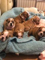 English Bulldog Puppies for sale in Pensacola, FL, USA. price: NA
