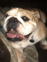 English Bulldog Puppies for sale in Middletown, RI, USA. price: NA