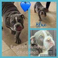 English Bulldog Puppies for sale in North Las Vegas, NV, USA. price: NA