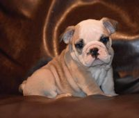 English Bulldog Puppies for sale in Fort Worth, TX, USA. price: NA