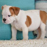 English Bulldog Puppies for sale in Miami, FL, USA. price: NA