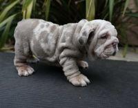 English Bulldog Puppies for sale in Greenville, SC, USA. price: NA