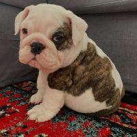 English Bulldog Puppies for sale in New York, NY, USA. price: NA