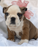 English Bulldog Puppies for sale in Oklahoma City, OK, USA. price: NA