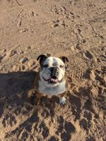English Bulldog Puppies for sale in Apple Valley, CA 92307, USA. price: NA