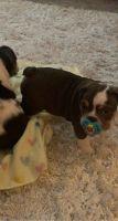 English Bulldog Puppies for sale in Lebanon, OH 45036, USA. price: NA